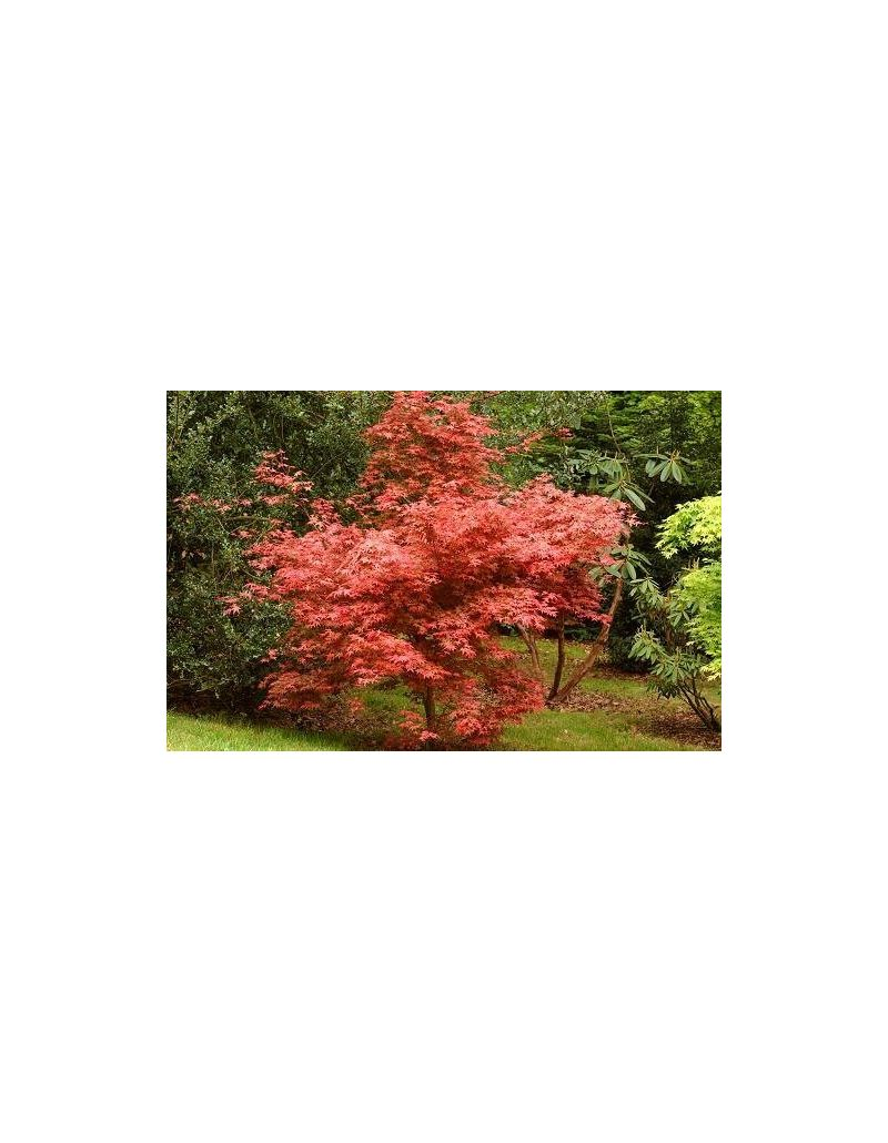Acer palmatum deshojo vaso 30 cm vendita piante on line for Acero giapponese