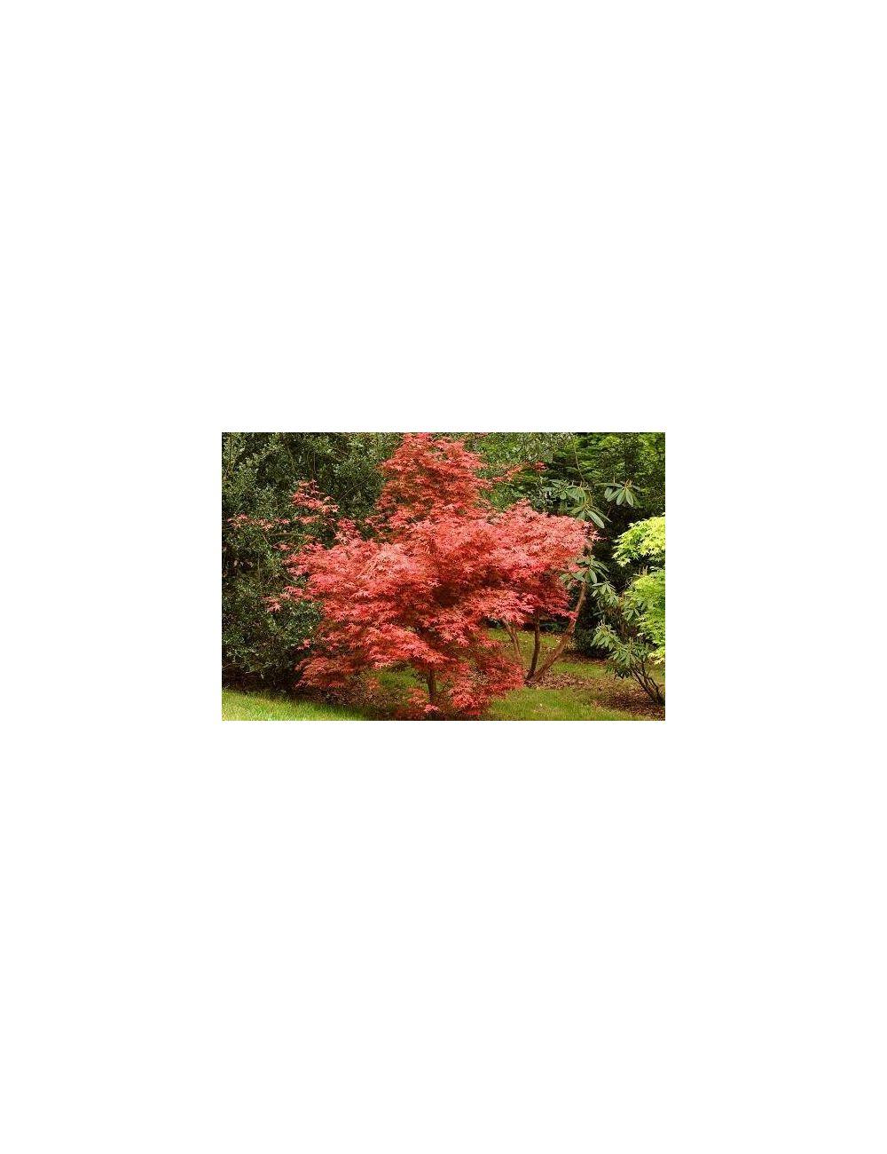 Acer palmatum deshojo vaso 30 cm vendita piante on line for Acero giapponese nano