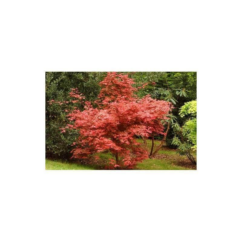 Acer palmatum deshojo vaso 30 cm vendita piante on line for Vendita piante mirtillo on line