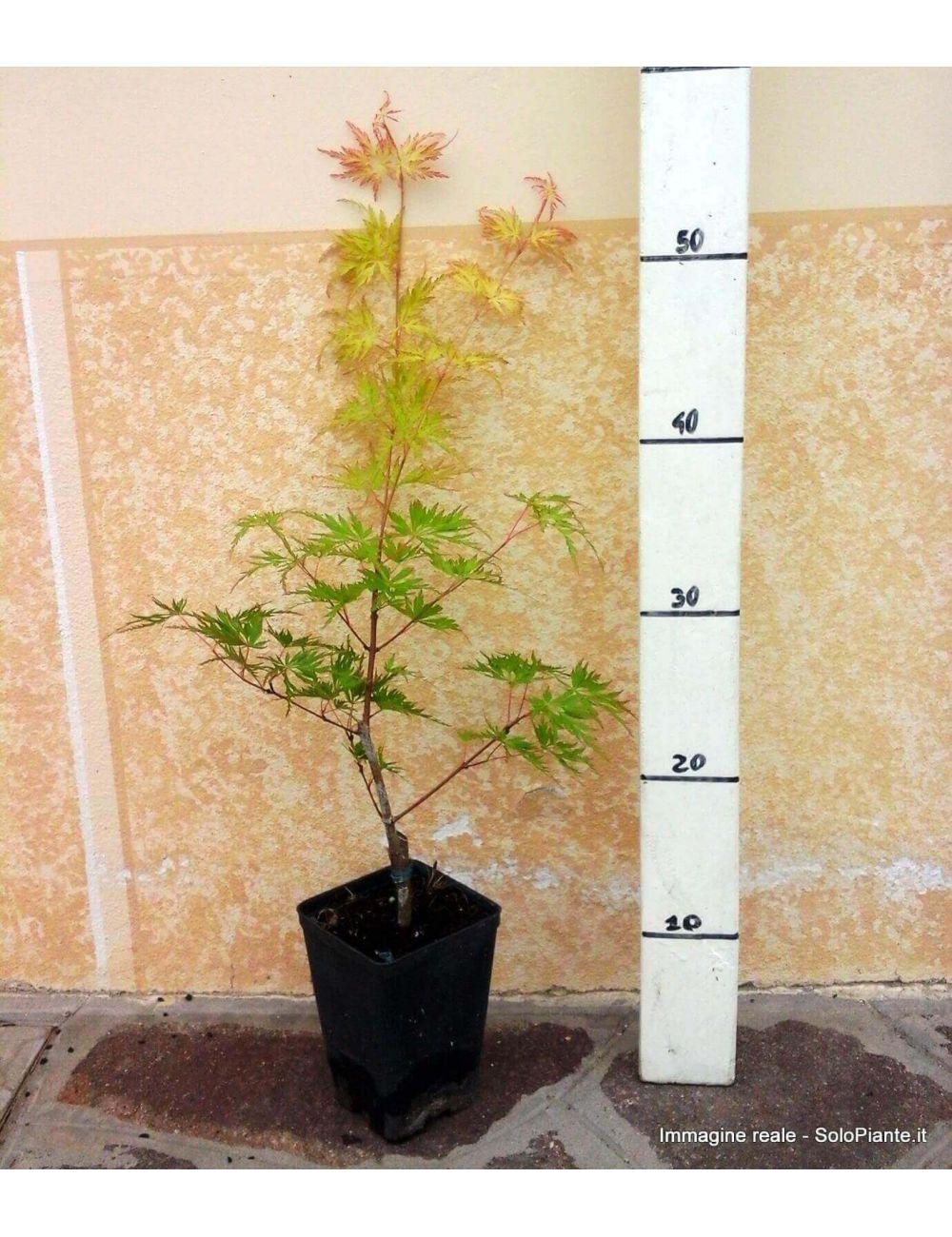 Acer palmatum dissectum seiryu vendita piante on line for Acero giapponese