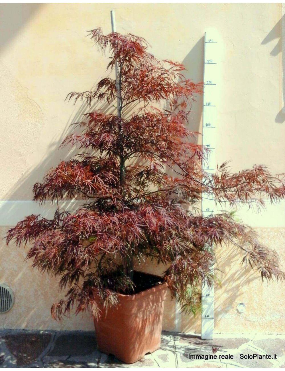 Acero giapponese inaba shidare vaso 28 30 cm vendita for Acero giapponese in vaso