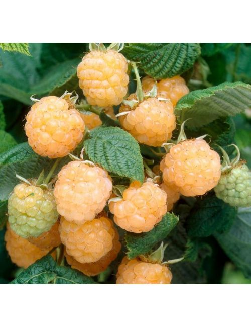 Lampone (Rubus Idaeus) Fallgold – frutto giallo