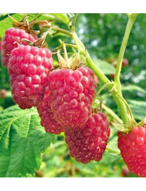 Lampone (Rubus Idaeus) – frutto rosso precoce