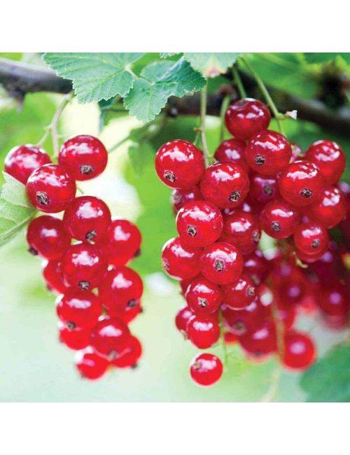 Ribes rosso – Jonkheer Van Tets (Ribes Rubrum)