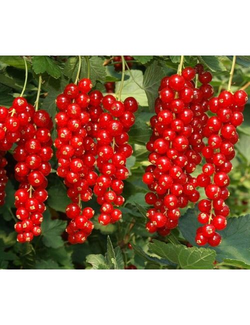 Ribes rosso – Rovada (Ribes Rubrum)