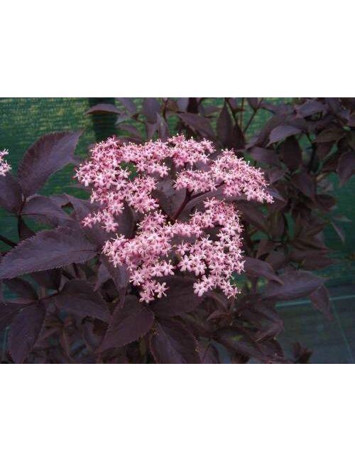 Mirtillo Gigante (Vaccinium Corymbosum Coville)