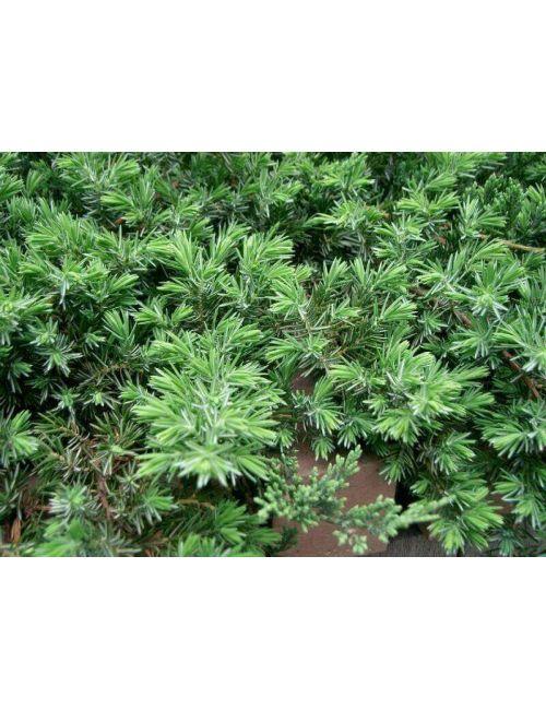"Ginepro ""Blue Pacific"" (Juniperus Blue Pacific)"