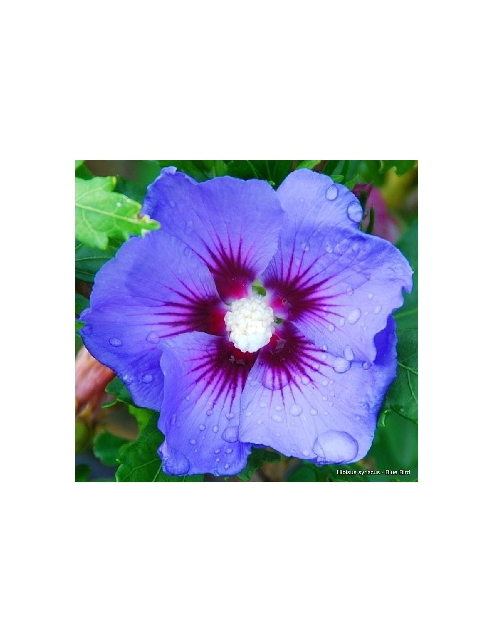 Ibisco Blue Bird (Hibiscus Syriacus)