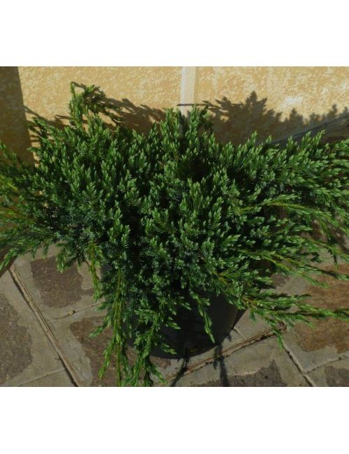"Ginepro ""Blue Carpet"" (Juniperus Squamata Blue Carpet)"