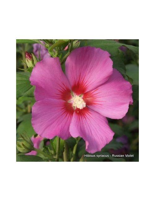 Ibisco (Hibiscus Syriacus)