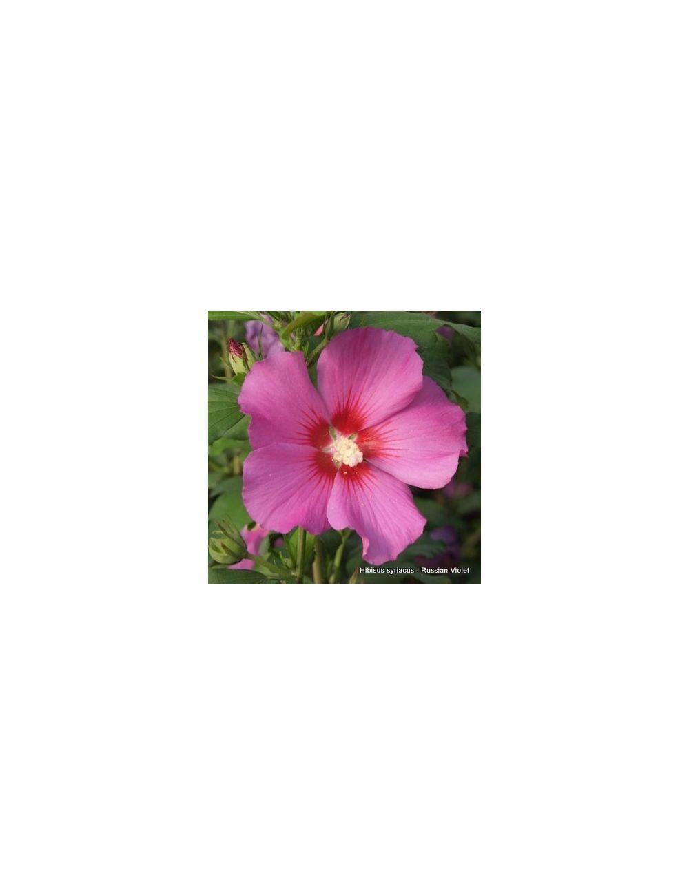 Ibisco Russian Violet (Hibiscus Syriacus)