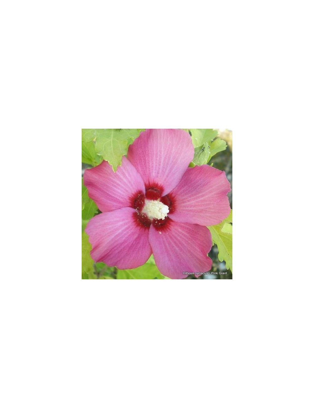 Ibisco Pink Giant (Hibiscus Syriacus)