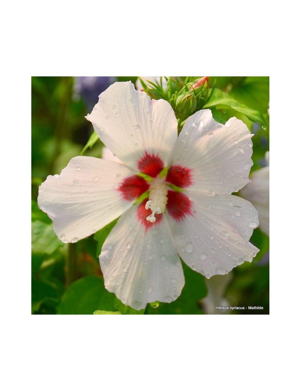 Ibisco Mathilde (Hibiscus Syriacus)