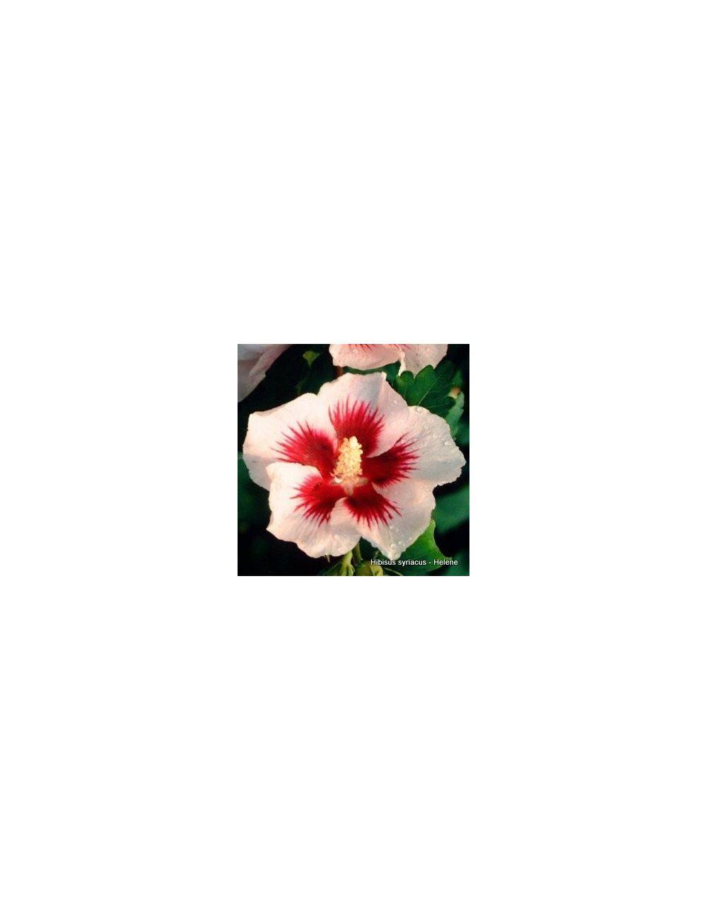 Ibisco Helene (Hibiscus Syriacus)