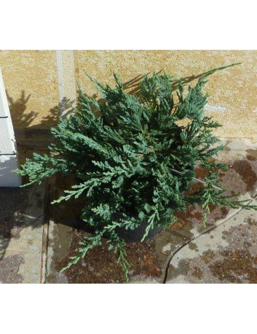 "Ginepro ""Blue Chip"" (Juniperus Blue Chip)"
