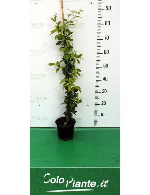 Gelsomino (Trachelospermum Jasminoides)
