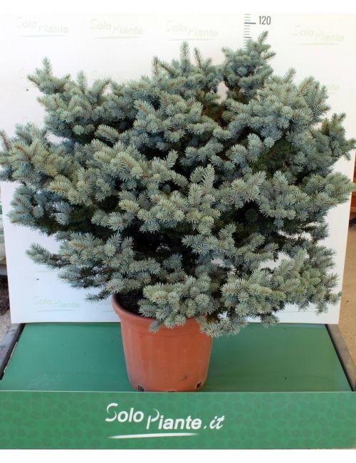 Abete azzurro Globoso (Picea Pungens Glauca Globosa)