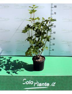 Lentaggine/Laurotino (Viburnum Tinus)