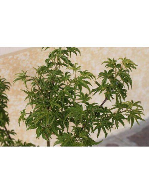 Acero giapponese crispifolium vendita piante online for Acero giapponese in vaso