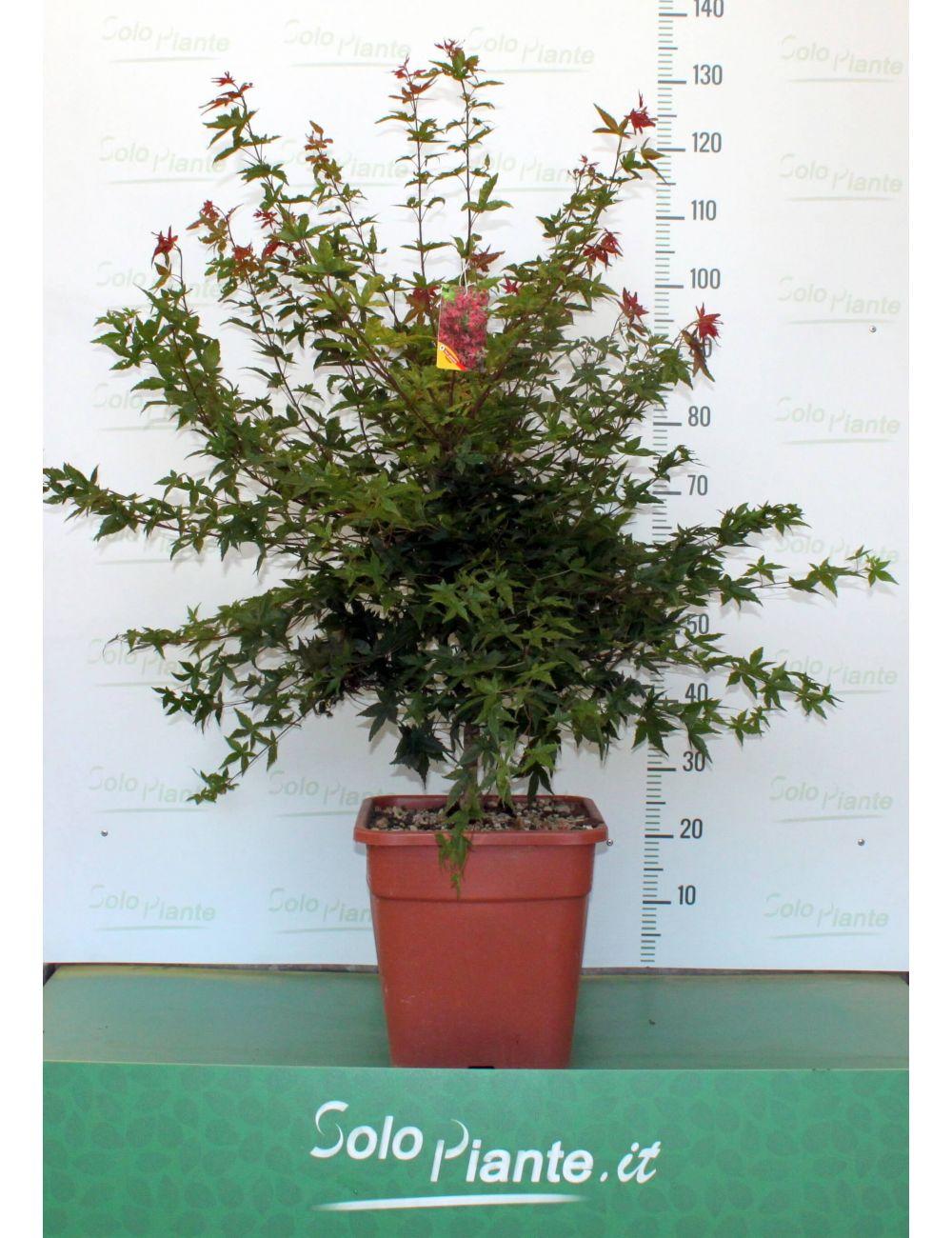 Acer palmatum deshojo vaso 30 cm vendita piante on line for Acero giapponese in vaso