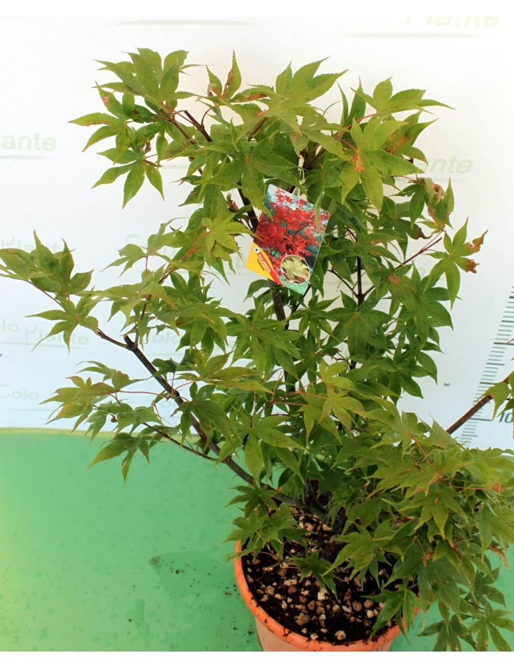 Acero giapponese osakazuki vendita piante on line for Acero giapponese