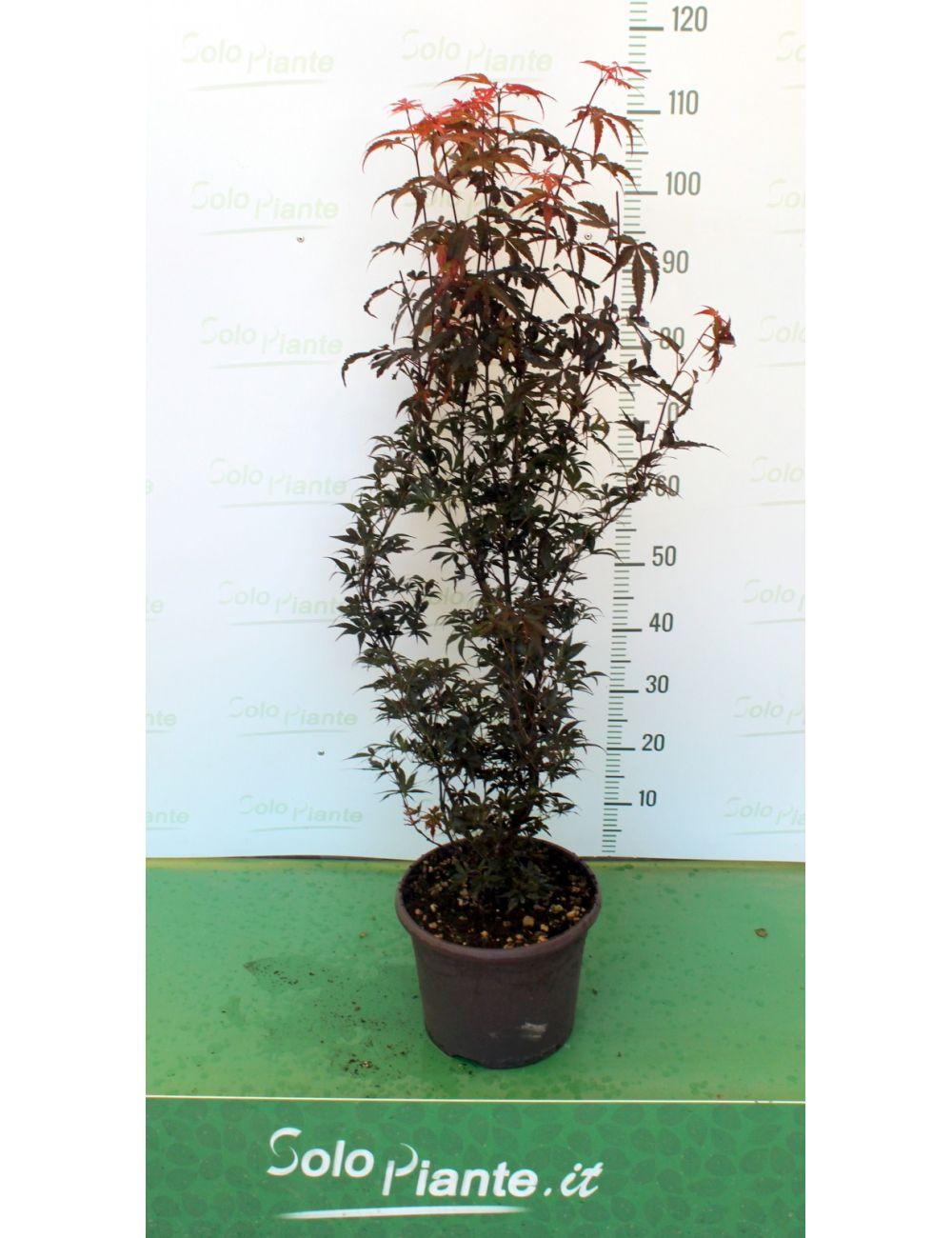 Acer palmatum skeeters broom vendita piante on line for Acero giapponese in vaso