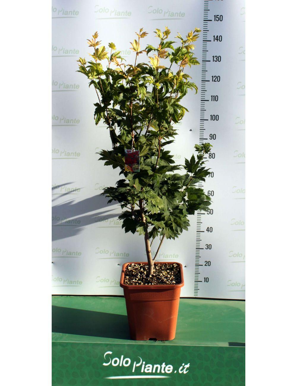Acero giapponese vitifolium vaso 28 30 cm vendita for Acero giapponese in vaso