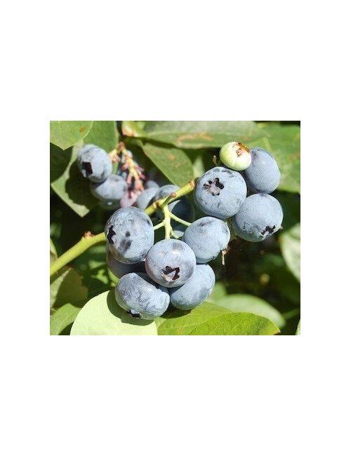 Mirtillo Gigante Bluecrop (Vaccinium Corym. Bluecrop)