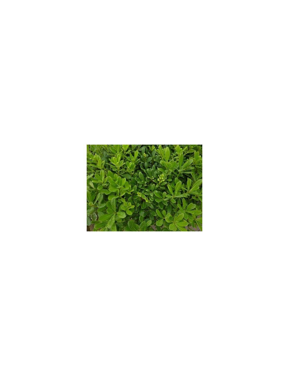 Pitosforo Nano (Pittosporum Tobira Nana)