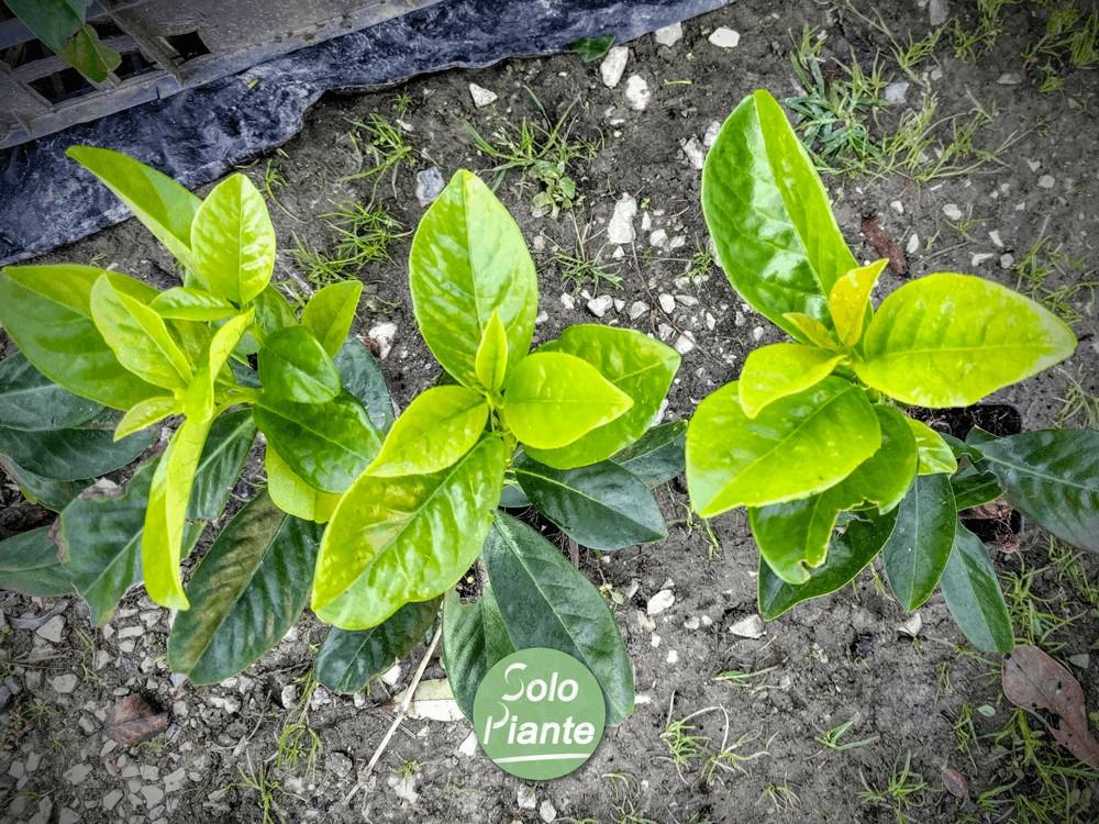 Lauro prunus laurocerasus caucasica pack 25 piante for Piante da frutto vendita on line