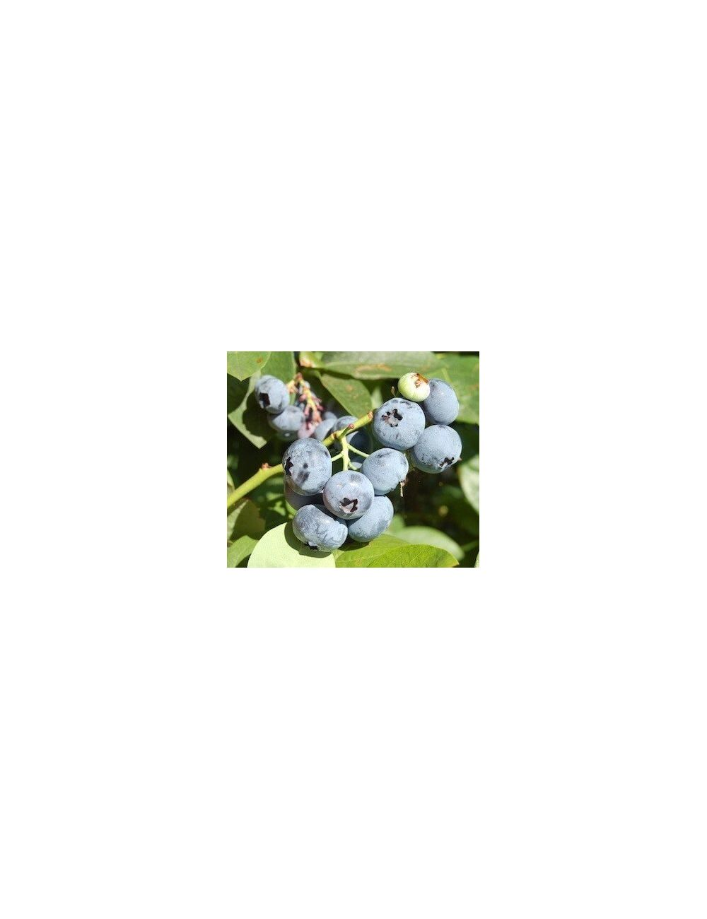 Mirtillo Gigante Late Blue (Vaccinium Corym. Late Blue)