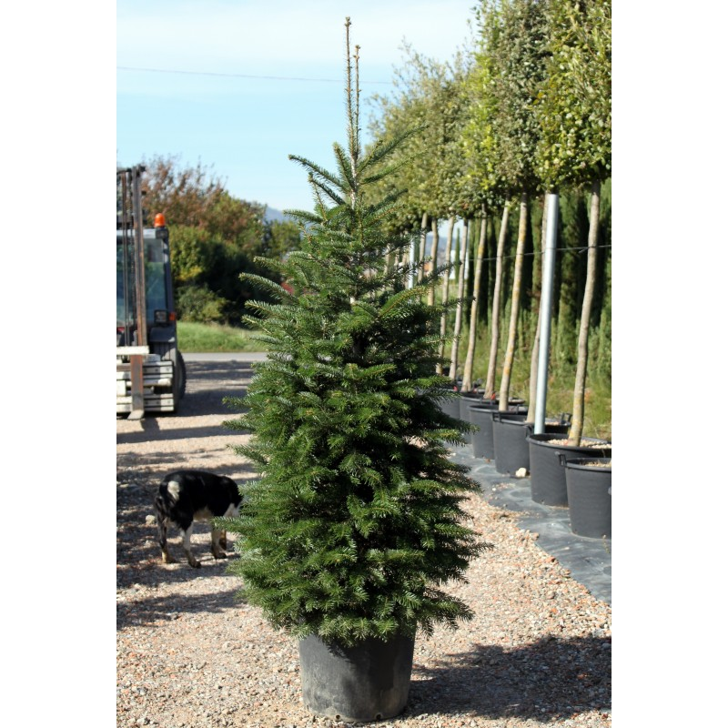 Abete nordmanniana vaso 50 cm vendita piante on line for Alberi in vendita