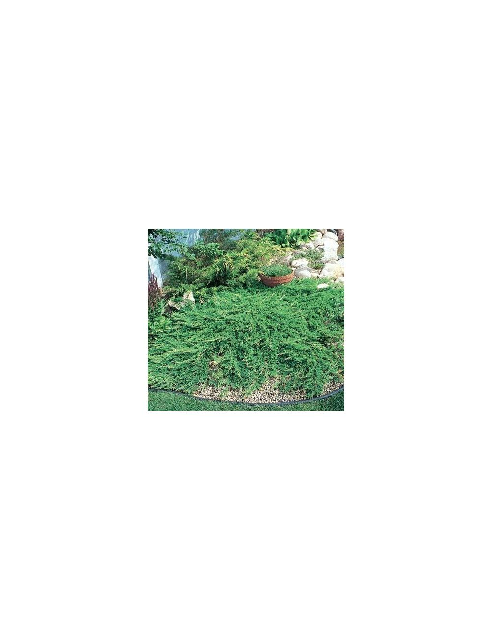 Ginepro principe di galles vendita piante on line for Vendita piante mirtillo on line