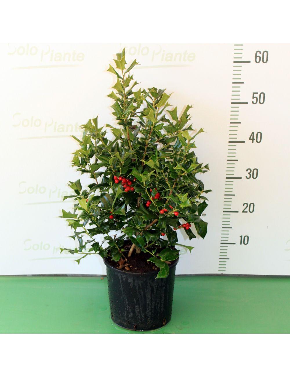 Albero Con Bacche Rosse agrifoglio con bacche - ilex cornuta - vendita piante on line -  solopiante.it