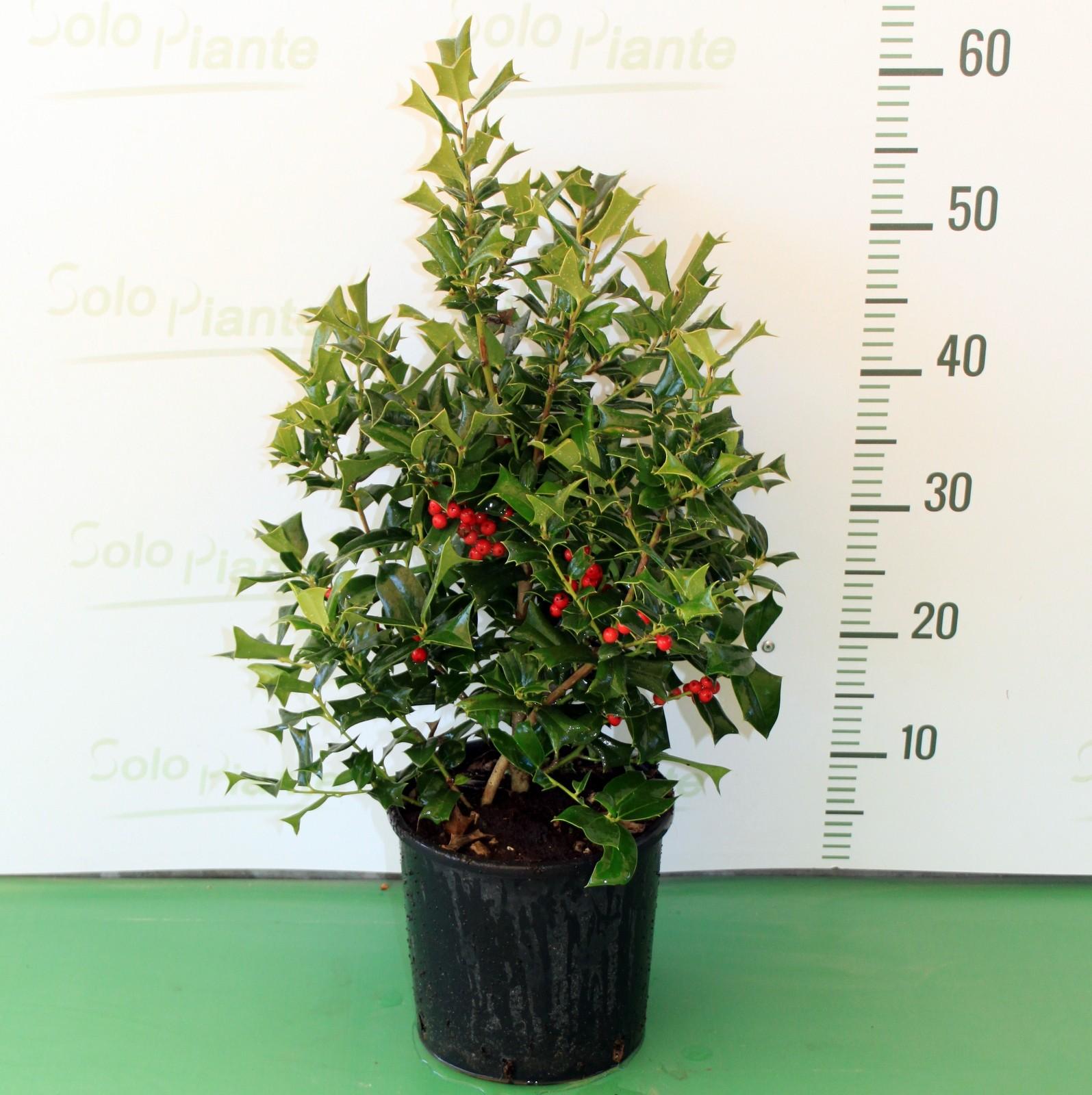 Agrifoglio con bacche ilex cornuta vendita piante on for Piante da frutto vendita on line