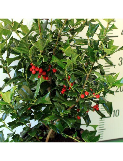 Agrifoglio Verde (Ilex Furcata) - selezione EXTRA