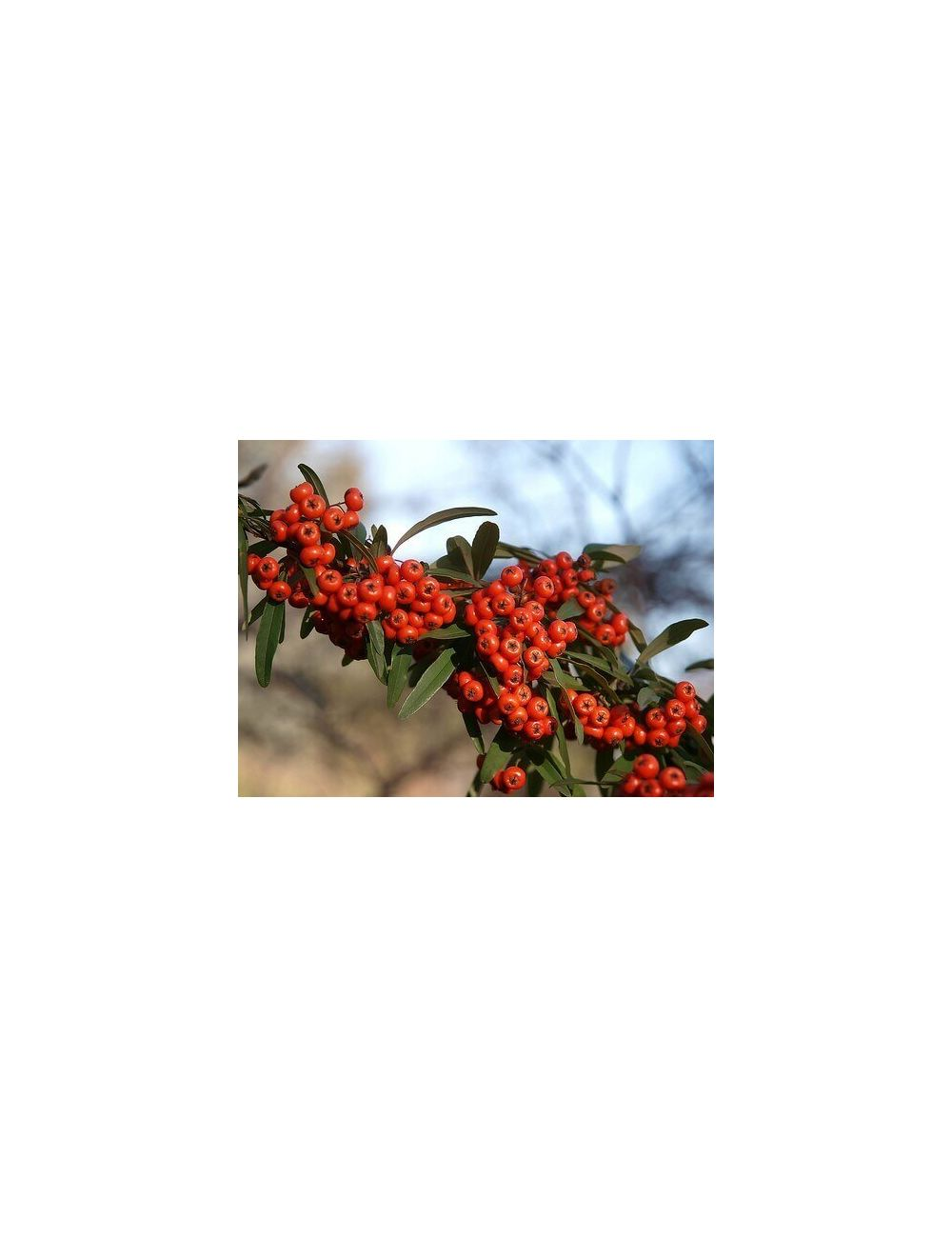 Sfera di Pyracantha Navaho (Agazzino nano)