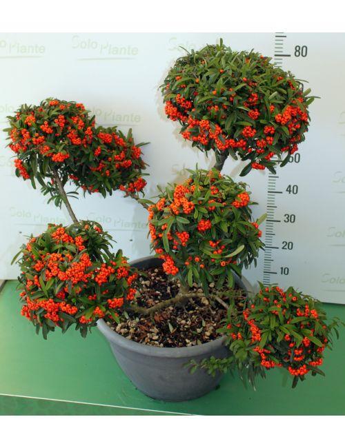 """Pompon, stile """"macro-bonsai"""" di Pyracantha Navaho (Agazzino nano) - SPECIALE NATALE - con bacche"""