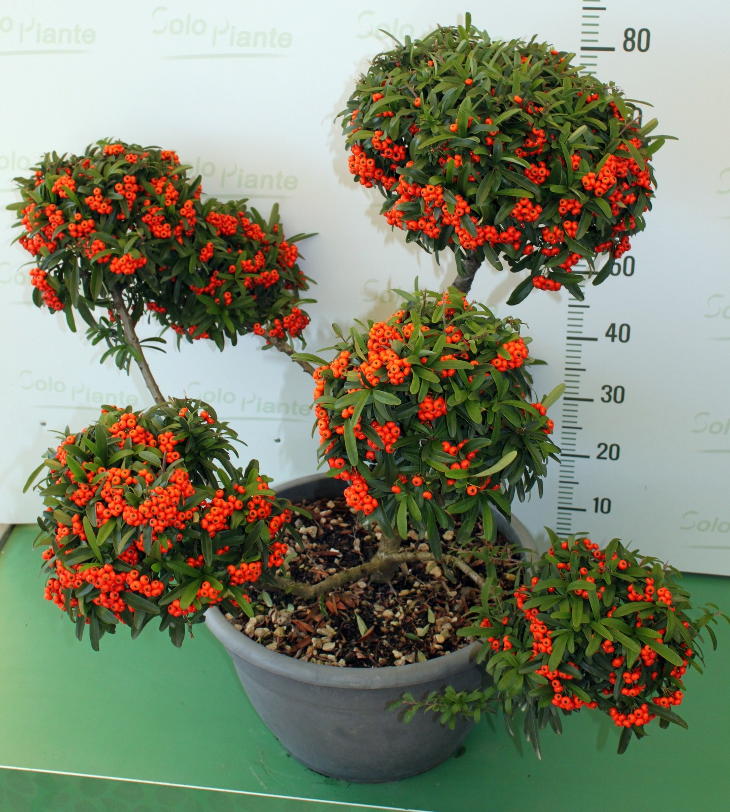 Pompon stile macrobonsai di pyracantha nano pyracantha for Vendita on line bonsai