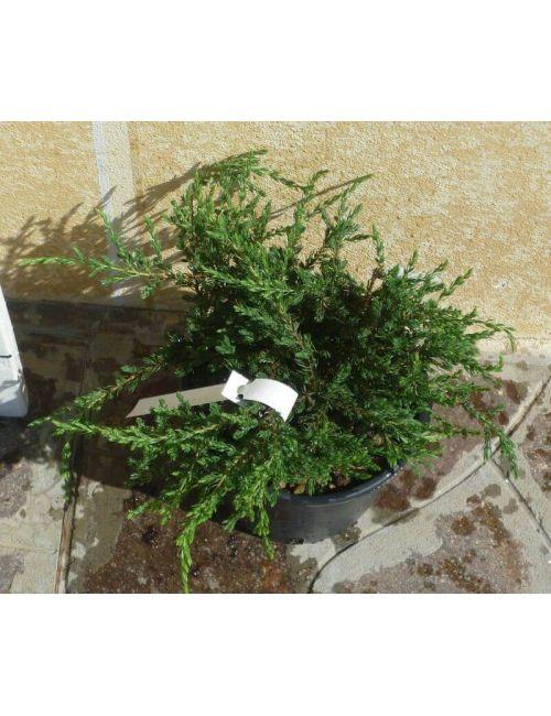 """Ginepro """"Repanda"""" (Juniperus Com.Repanda)"""