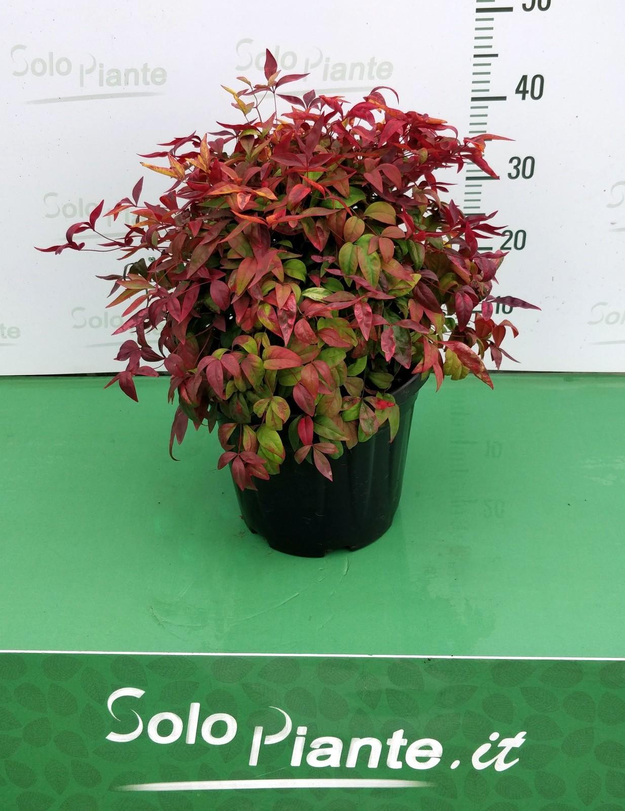 Nandina Fire Power vaso 24 cm - vendita piante on line ...