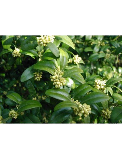 Bosso Comune (Buxus Sempervirens)