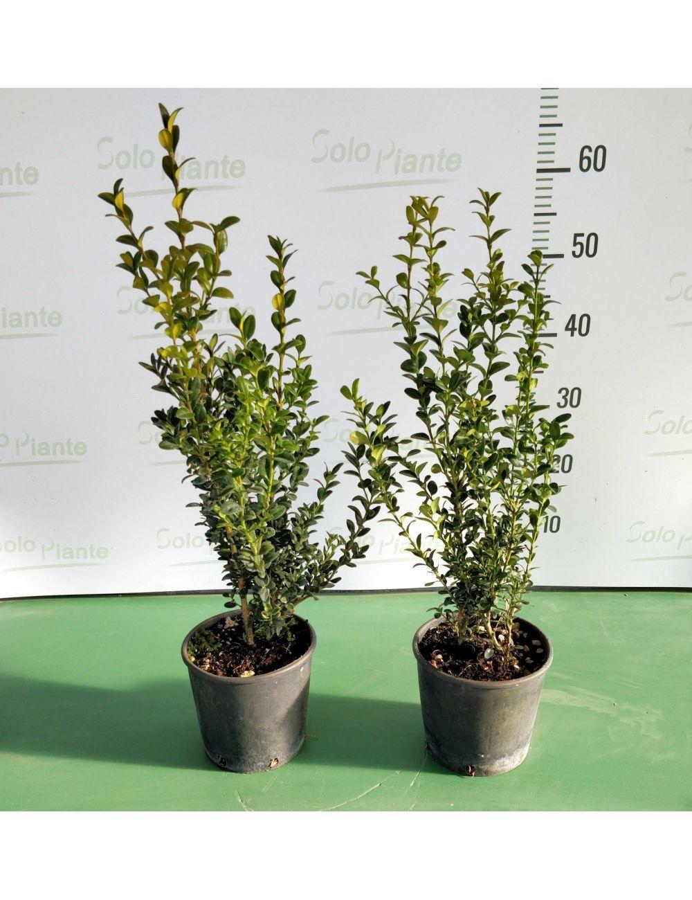 Bosso comune buxus sempervirens vaso 15 cm vendita for Bosso vaso