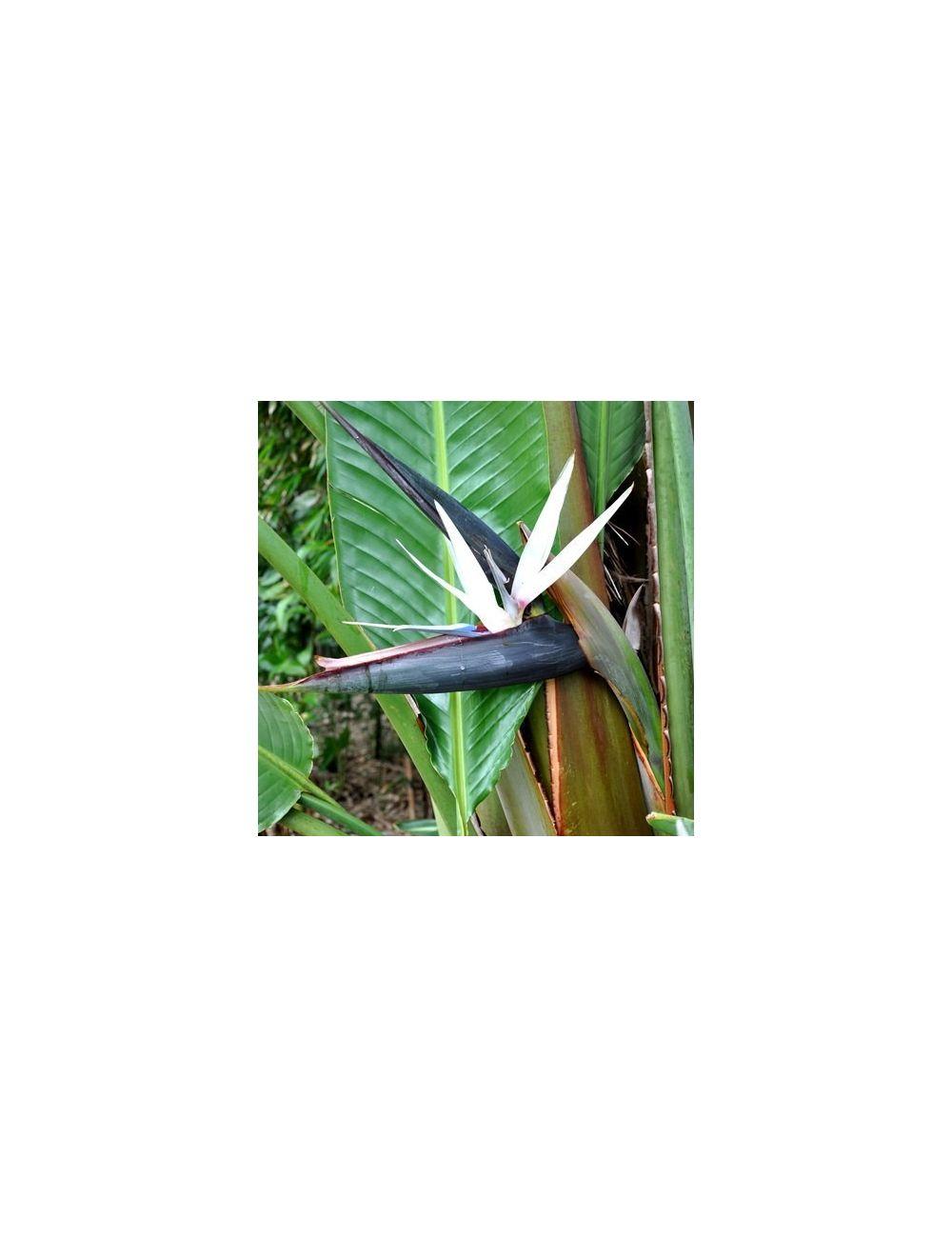 Uccello del Paradiso (Strelitzia Arguta)