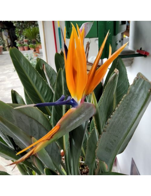 Uccello del Paradiso (Strelitzia Reginae)