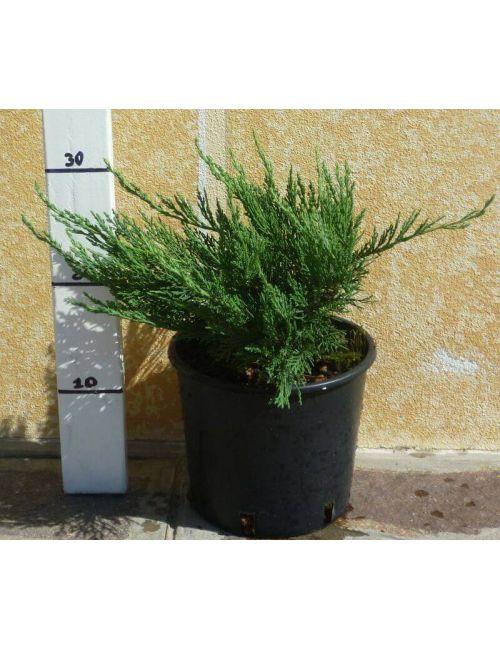 """Ginepro """"Tamariscifolia"""" (Juniperus Tamariscifolia)"""