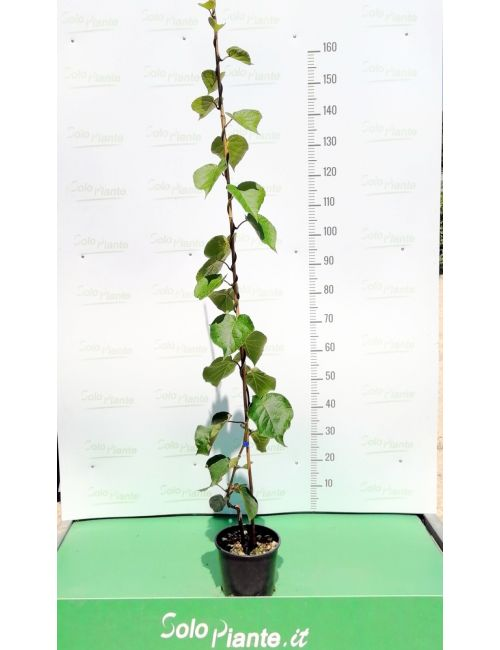 Kiwi (Actinidia Chinensis)