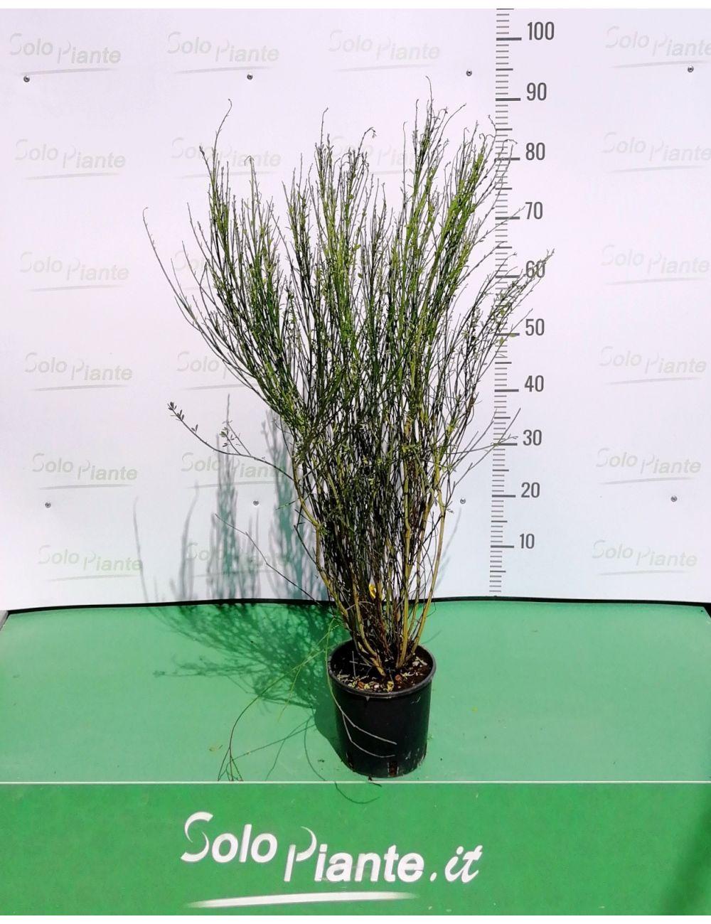 Cytisus Scoparius (Ginestra dei carbonai)