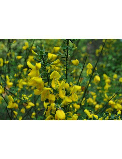 Spartium Junceum (Ginestra di Spagna)