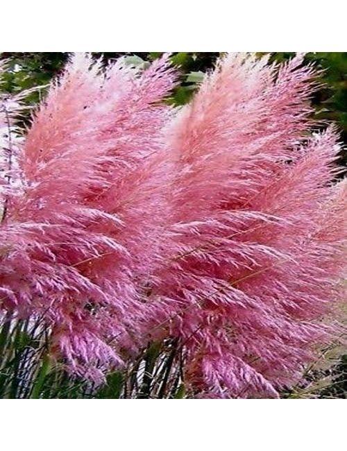 Cortaderia Selloana Rosea (Erba della Pampas a fiore rosa)